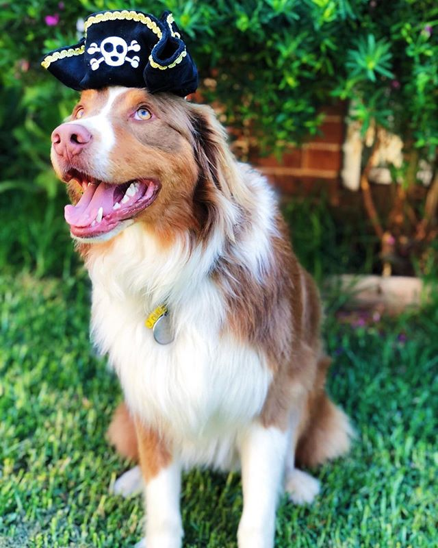 Mum says I can't be a real life pirate because I'd get too seasick (also, I'm probably too nice). But instead, I'll just PLAY pirate on dry land and go rummaging around my mates place looking for treats for my treasure. • PS. My hat even has straps so mum can take my photo for the gram.😆👍🏽 • 🐶📷: @two.ginger_aussies with the 'Mutthatter Pirate' plush hat. • • • • • #petsloveplay #petstagram #dogsofinstagram #catsofinstagram #petsaustralia #dogsofaustralia #ecofriendly #greengoals #greenplanet #readytoplay #plushtoys #mustlovedogs #dogtoys #designerbeds #designerpets #petlife #dogowner #petowner #pets #australia #dogs #cats #pawesome #dogsofmelbourne #dogsofsydney #dogsofperth #dogsofbrisbane