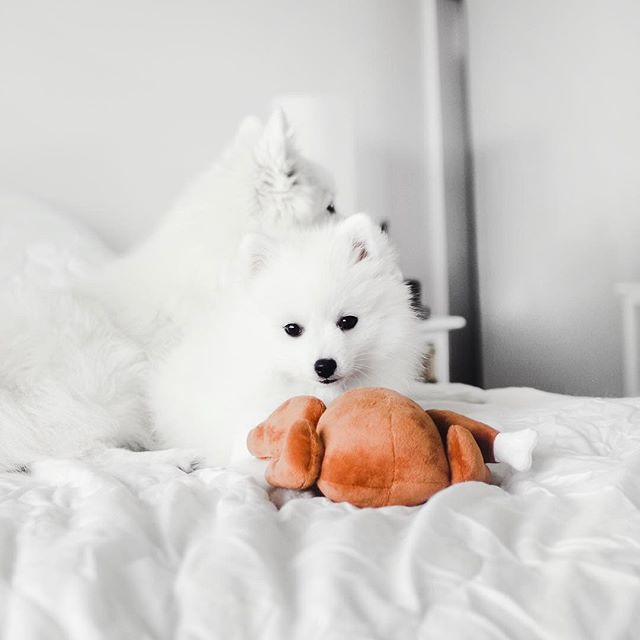 Just two fluffs and a turkey.😄👌🏼 • 📷: the fabulous @fujiandbambi • • • • • #petsloveplay #petstagram #dogsofinstagram #catsofinstagram #petsaustralia #dogsofaustralia #ecofriendly #greengoals #greenplanet #readytoplay #plushtoys #mustlovedogs #dogtoys #designerbeds #designerpets #petlife #dogowner #petowner #pets #australia #dogs #cats #pawesome #dogsofmelbourne #dogsofsydney #dogsofperth #dogsofbrisbane