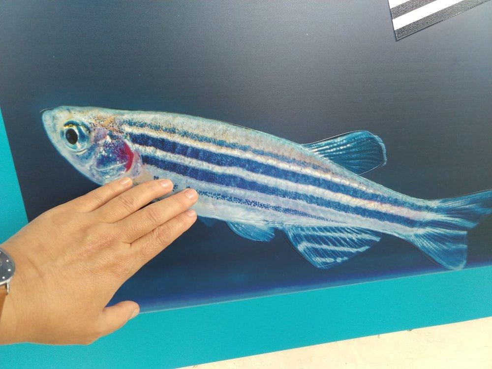 Zebrafish-WG-003.jpeg