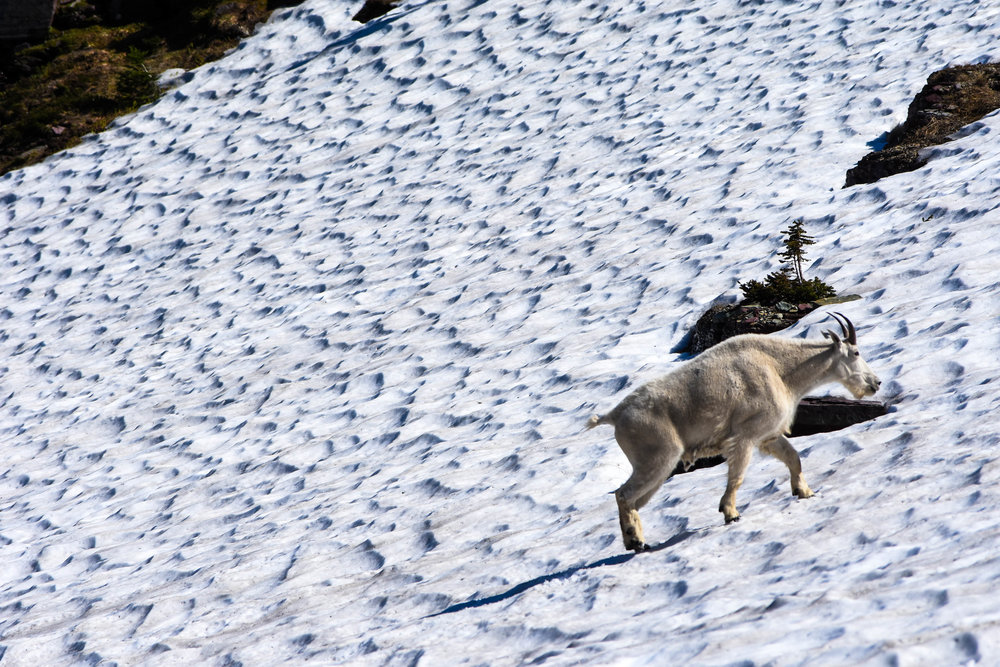 A mountain goat ascends a snow-covered ridge with ease in the heart of Glacier National Park.