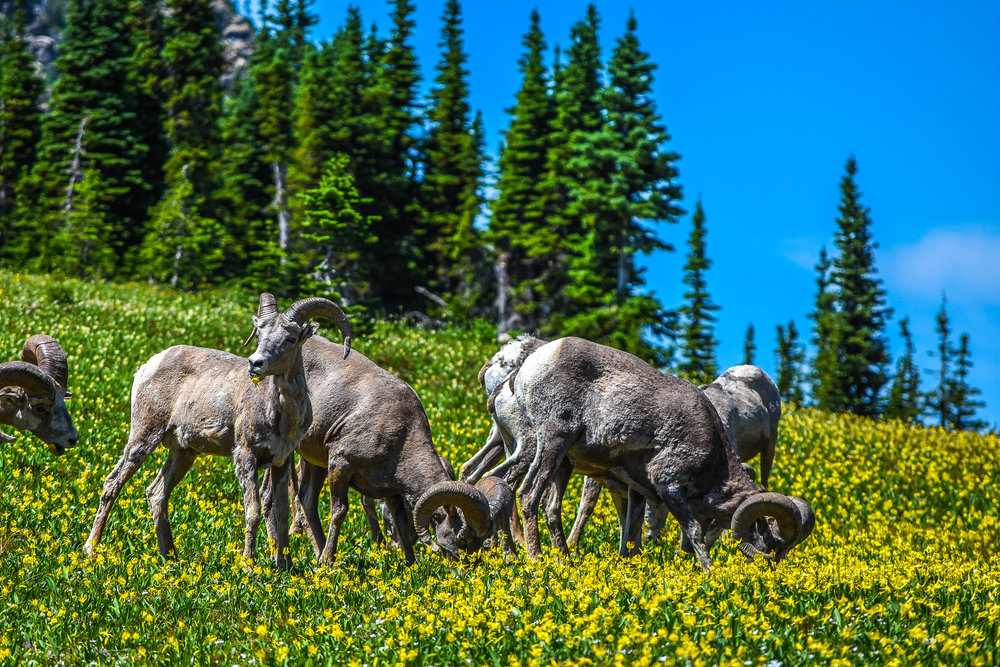 Bighorn Sheep feast on a patch of wildflowers in an idyllic alpine scene characteristic of Glacier National Park.