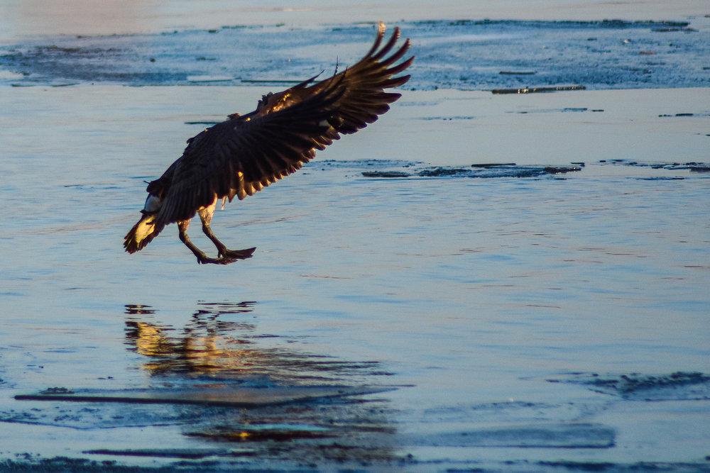A Canada goose makes an aquatic landing on the surface of the partially frozen Lake Monona.