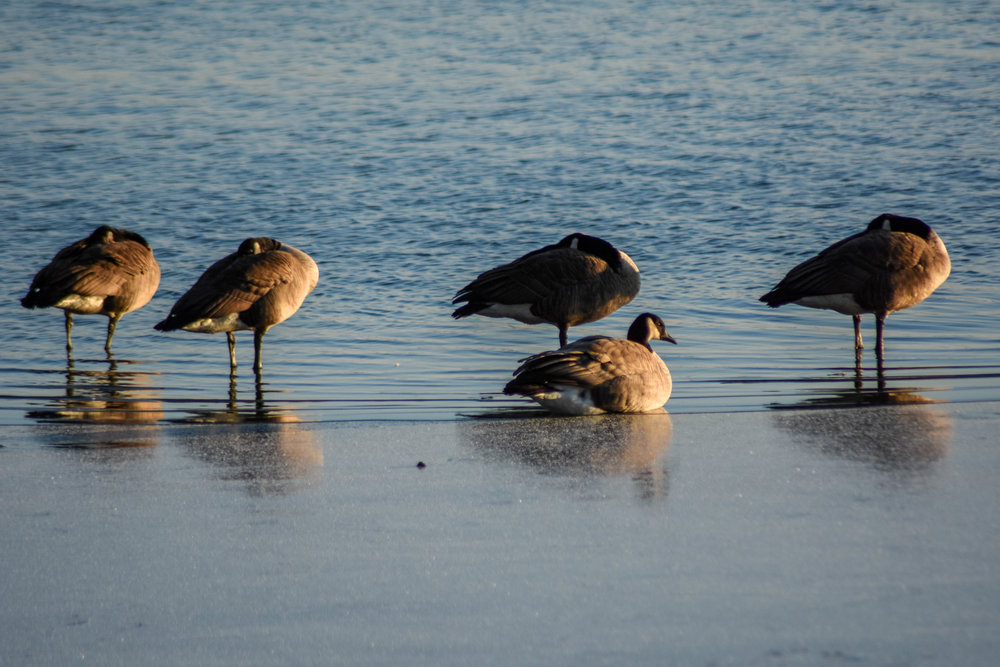 A sedentary goose, highlighted by the setting sun, disrupts the configuration of its standing companions.