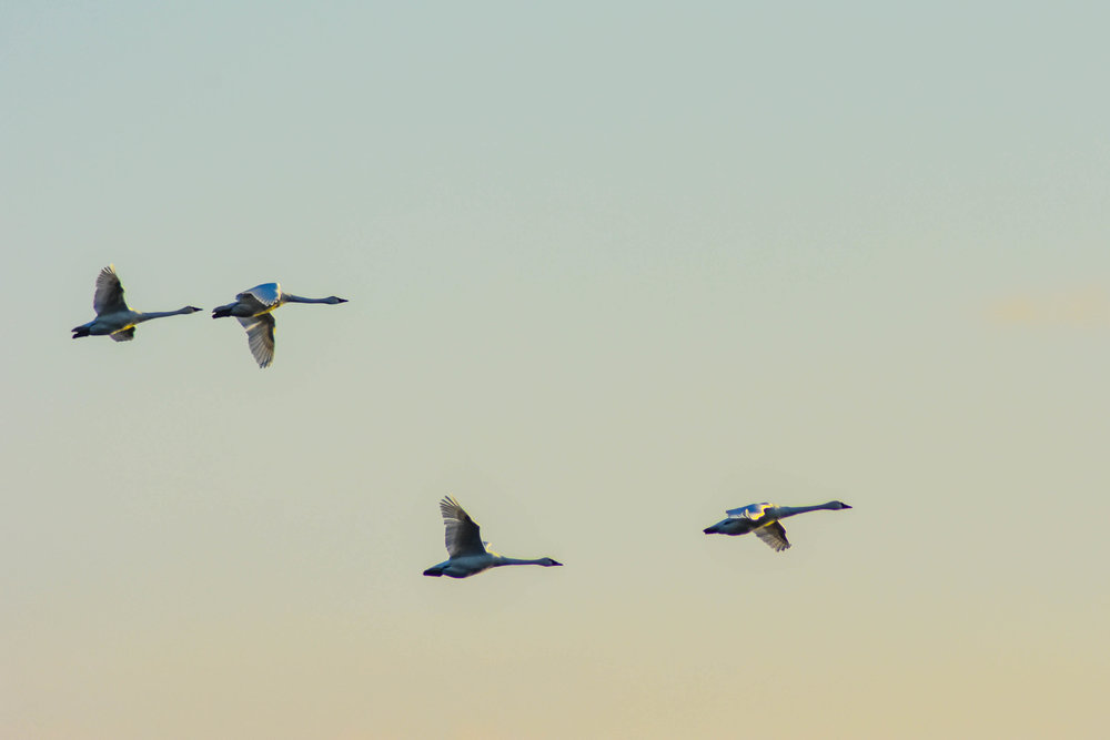 Migrating swans take flight during the last hours of daylight.