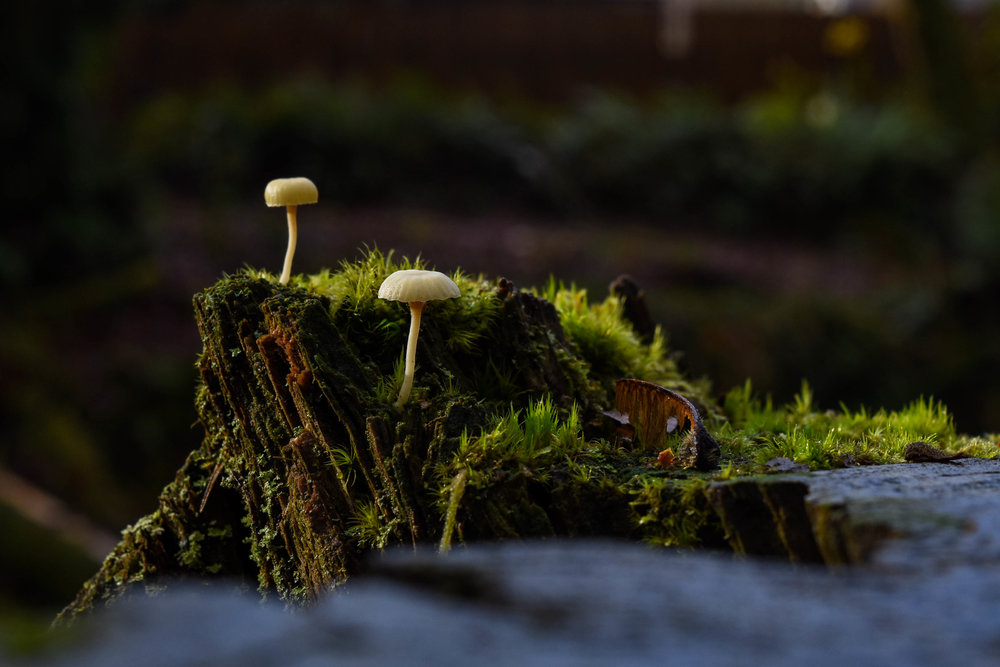 The plentiful rainfall and abundance of decomposing plant matter make the forests of the Pacific Northwest a hotbed for fungi such as the mushrooms pictured here.