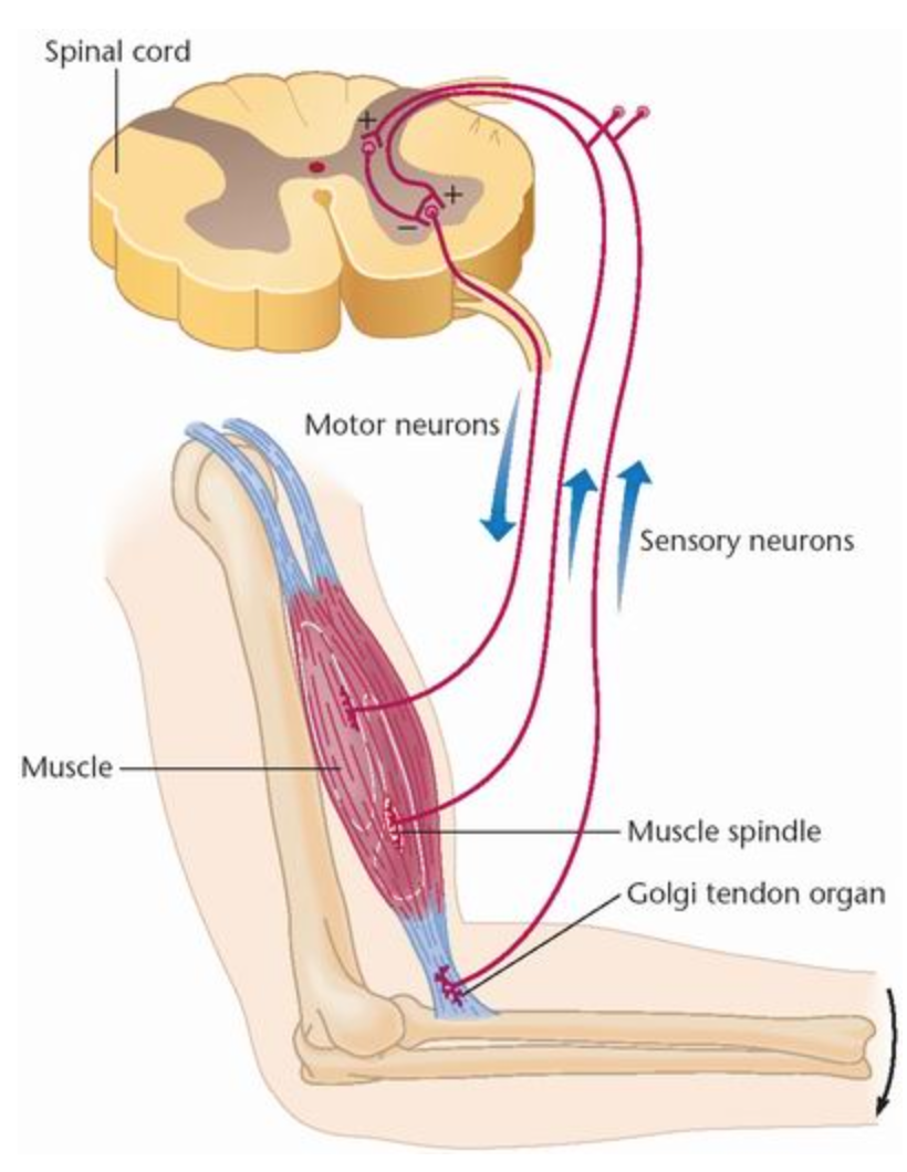 The muscle spindle and Golgi tendon organ are the proprioreceptors that detect and transmit changes in muscle length and tone to the rest of the nervous system (image source: http://www.medicalook.com/human_anatomy/organs/Proprioceptors.html)
