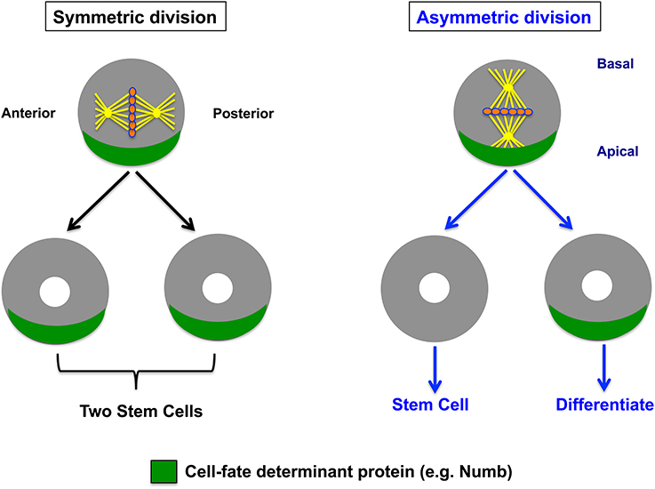 Figure from Berika  et al ., 2014.  Frontiers in Cell and Developmental Biology.