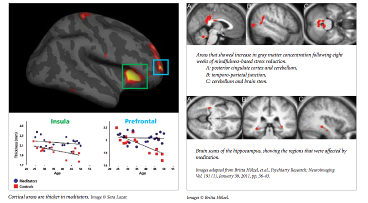 Gray Matter Density Increases During >> The Neuroscience Behind Mindfulness Harvard Neuro Blog