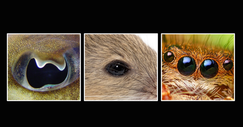 From left to right, the eye of a cephalopod, a mouse and a jumping spider.