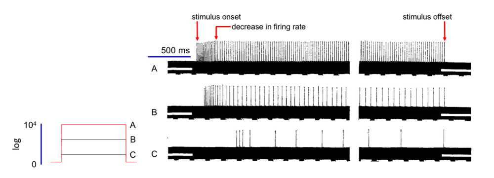 Fig 2. Responses of the eccentric cell of the ommatidium to step-increasing light intensity. Arrows indicate the time of stimulus onset (light-on), the subsequent decrease in firing rate, and stimulus offset (light off).