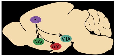 Fig 1: The prelimbic cortex (PL) and its projections to the nucleus accumbens (NAc), Amygdala (Am) and ventral tegmental area (VTA) in the mouse brain.