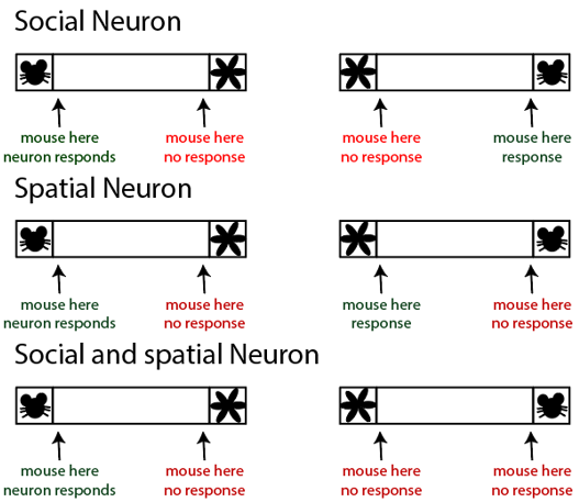 Fig. 2: Figure (adapted from figures in Murugan et al.) shows a summary of findings. PL-NAc neurons that response during social interaction. Some neurons show preference for mouse over object while some show preference for location. A number of neurons that show an interesting preference for mouse interaction only do so in a specific location – suggesting a sociospatial preference.