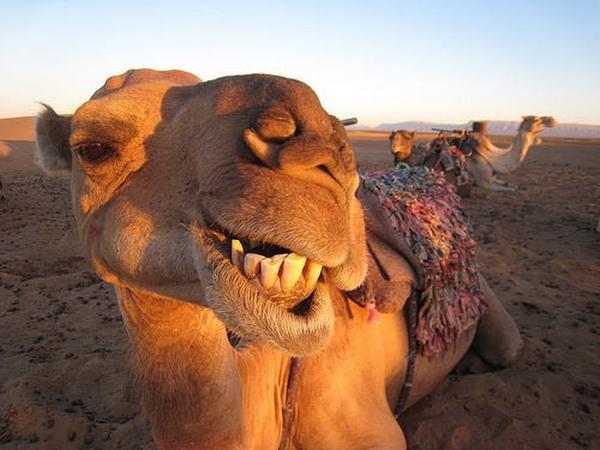 i-am-a-camel