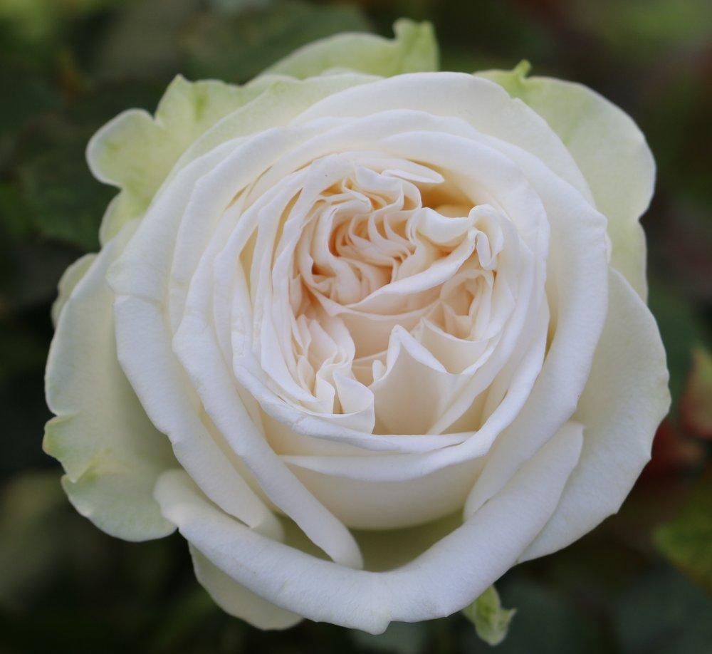mar 31 2017 romantic garden white lisa hunstad comment - White Garden Rose