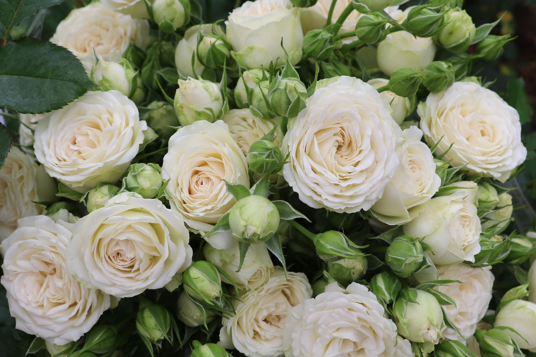 Virgo Eufloria Flowers