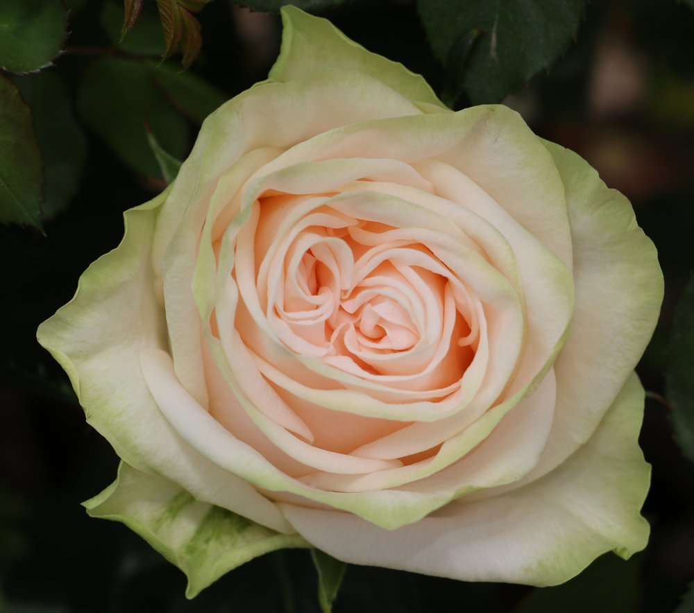 mar 28 2017 romantic garden peach lisa hunstad comment - Garden Rose