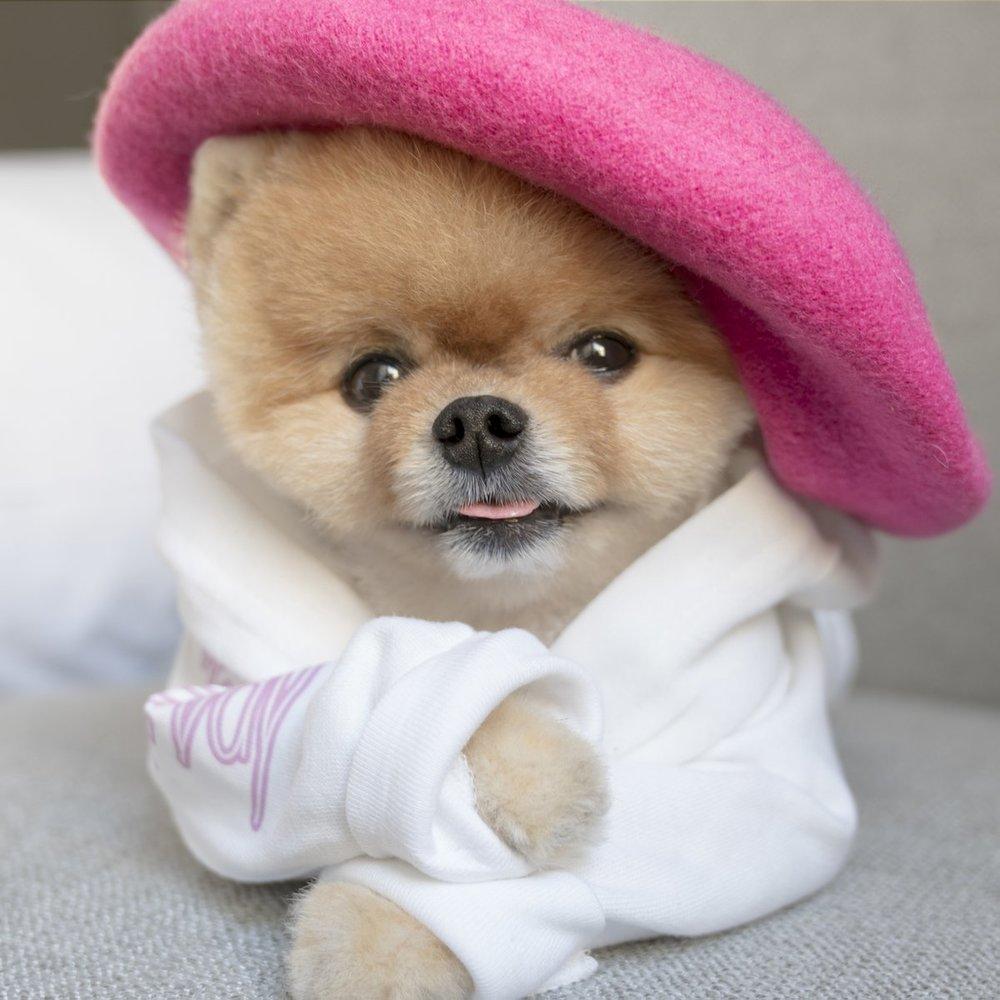 Jiffpom the puppy