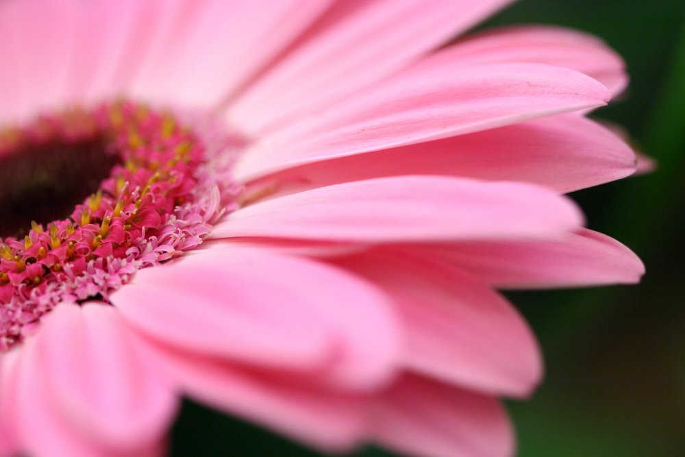 pink-gerbera-1170589.jpg