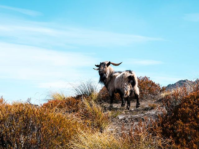 Finally going through more of my pics from a recent trip to NZ. Found this guy half way up Ben Lomond. #benlomond #queenstown #mountaingoat #newzealand #nzmustdo