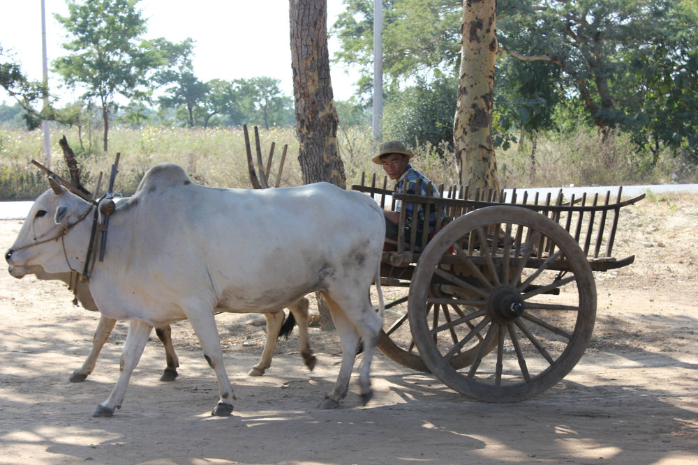 Bullock-cart between Bagan and Mandalay