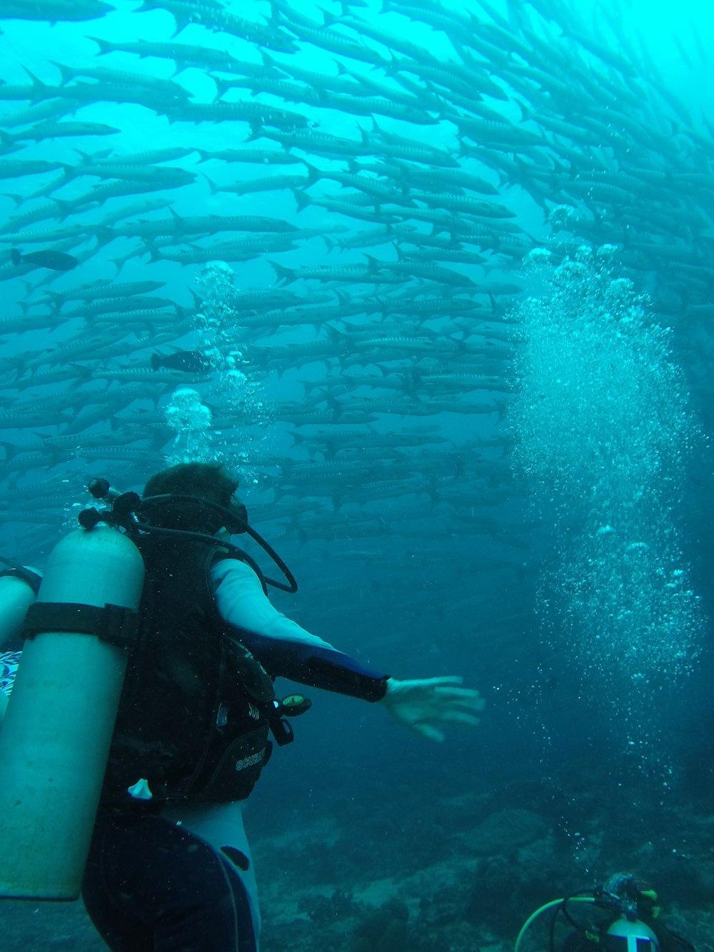 A spiralling shoal barracuda's