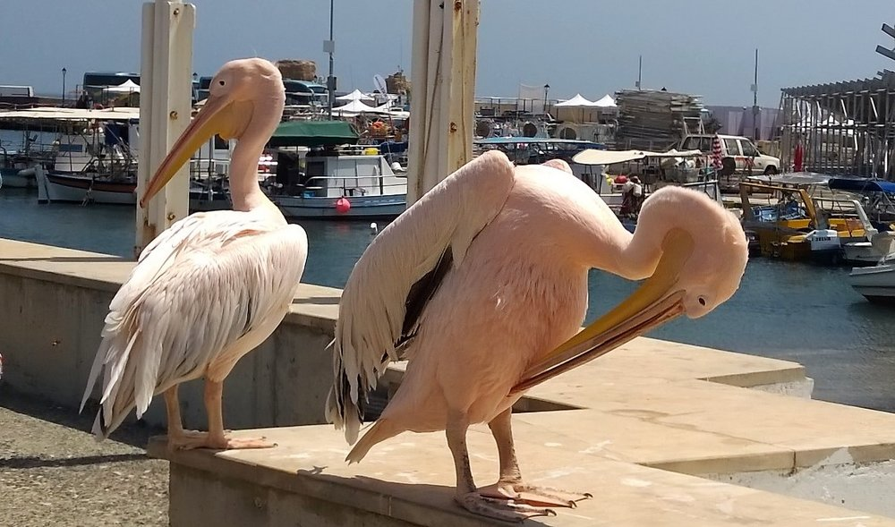 Two pink pelicans in the harbour entertain the tourists. One of them is nicknamed 'Coco'.