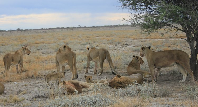 A pride of lions near Halali Camp in Etosha National Park