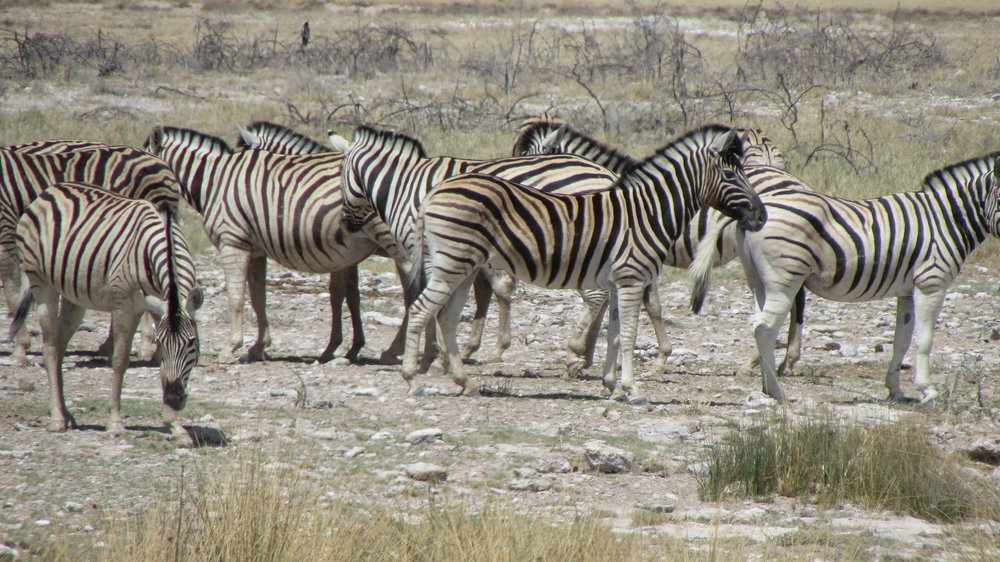 Very nervous zebra's near the waterhole