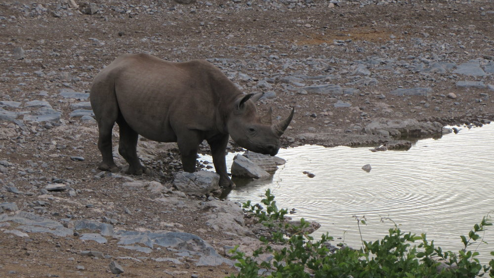A rhino in the early morning at Halali waterhole