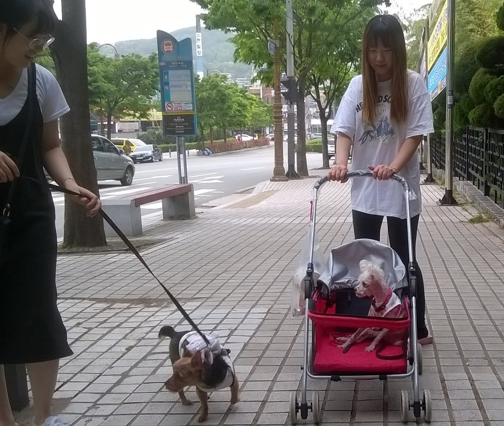 Women taking out their dogs in push-chairs