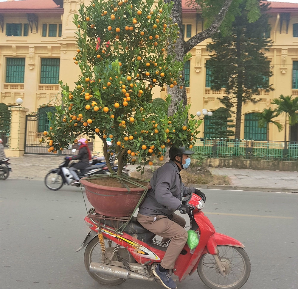 Scooter transporting tangerine tree