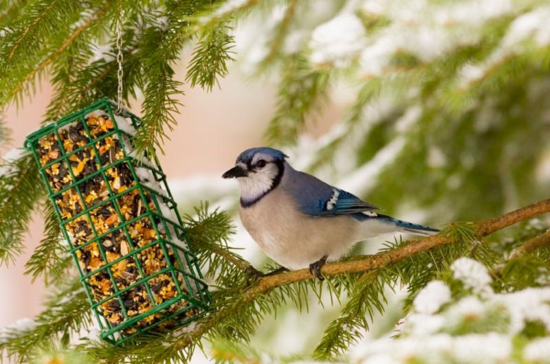 blue jay at feeder.jpg
