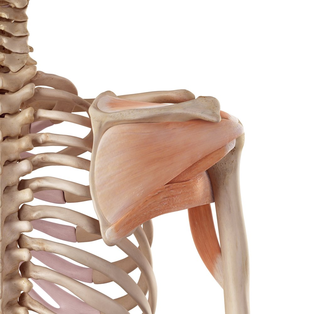 Four Things That Affect Shoulder Mobility_Scapula