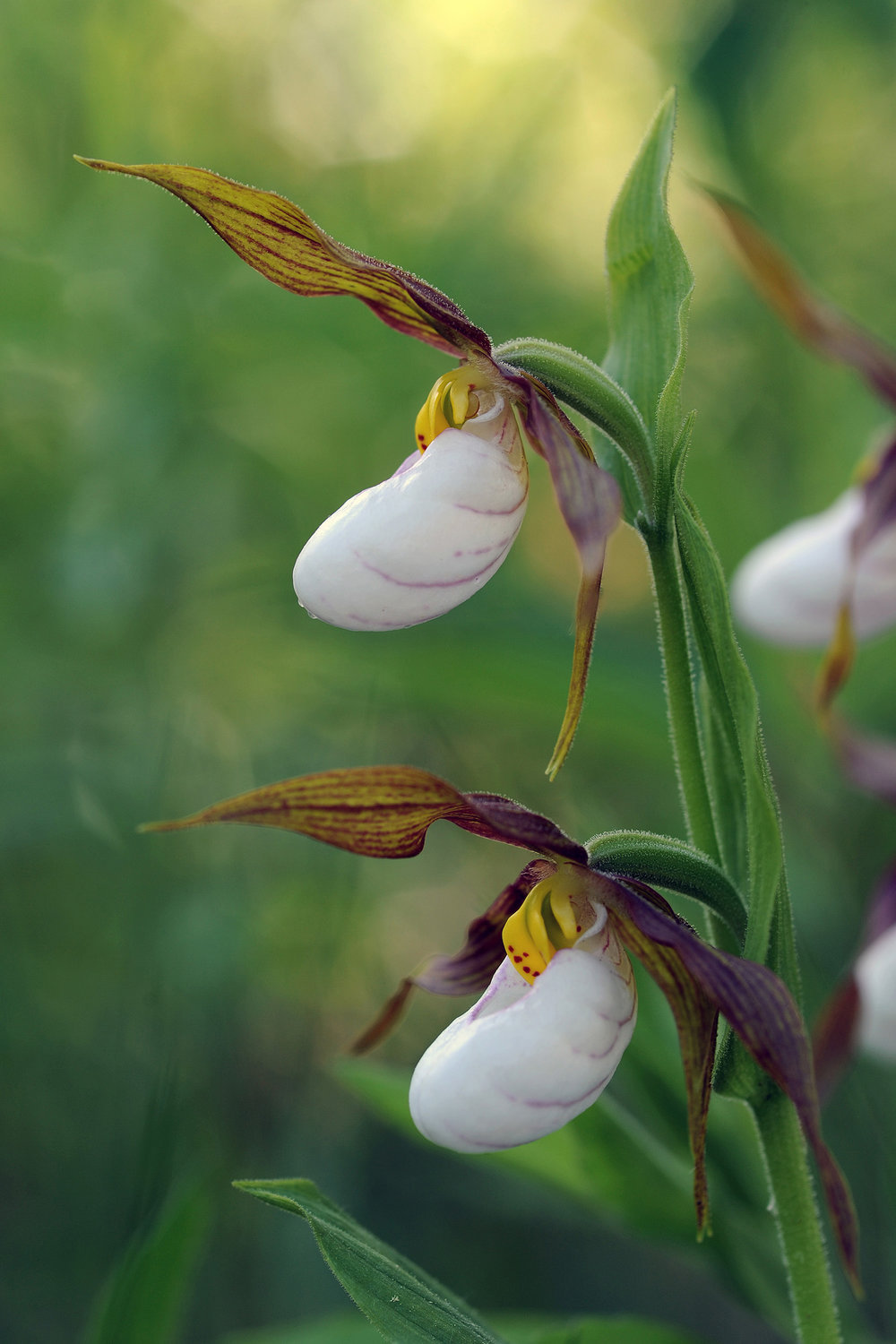 """Lady Slippers""  DSC_1796"
