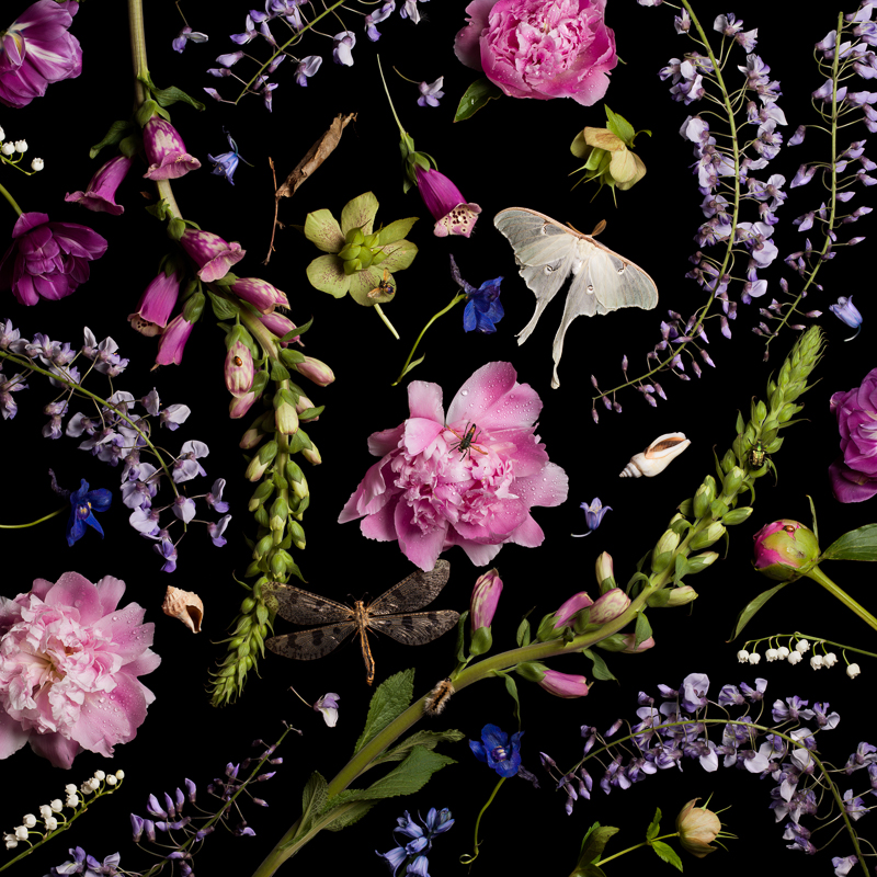 PAULETTE TAVORMINA Botanical V (Peonies and Wisteria, from the series Botanicals), 2013