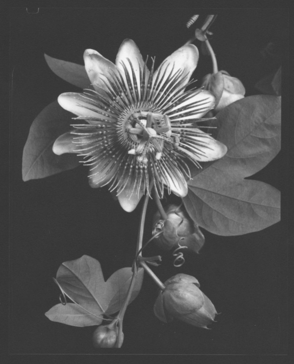 TOM BARIL,  Passion Flower , 1998