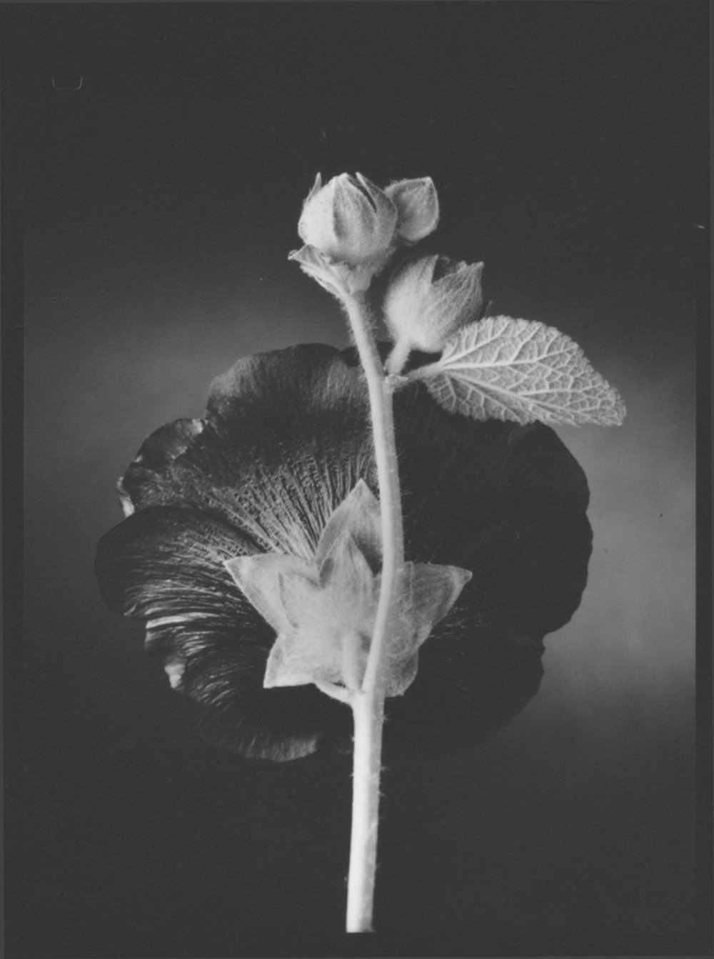 TOM BARIL,  Hollyhock , 1998