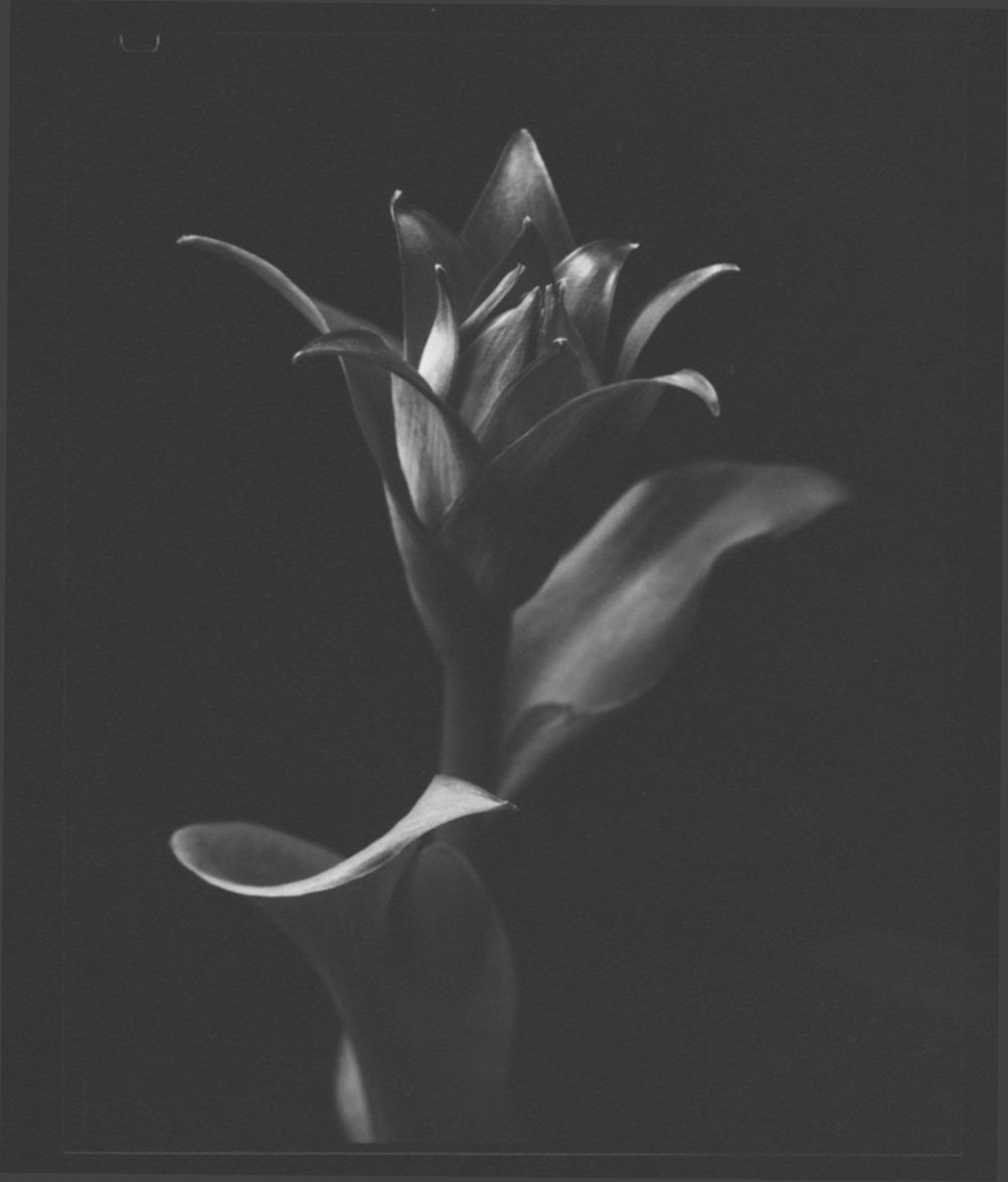 TOM BARIL,  Hosta , 1998