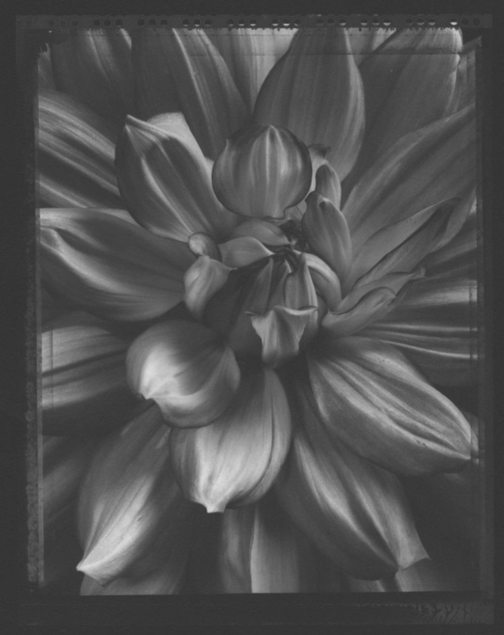 TOM BARIL,  Dahlia Blossom , 1998