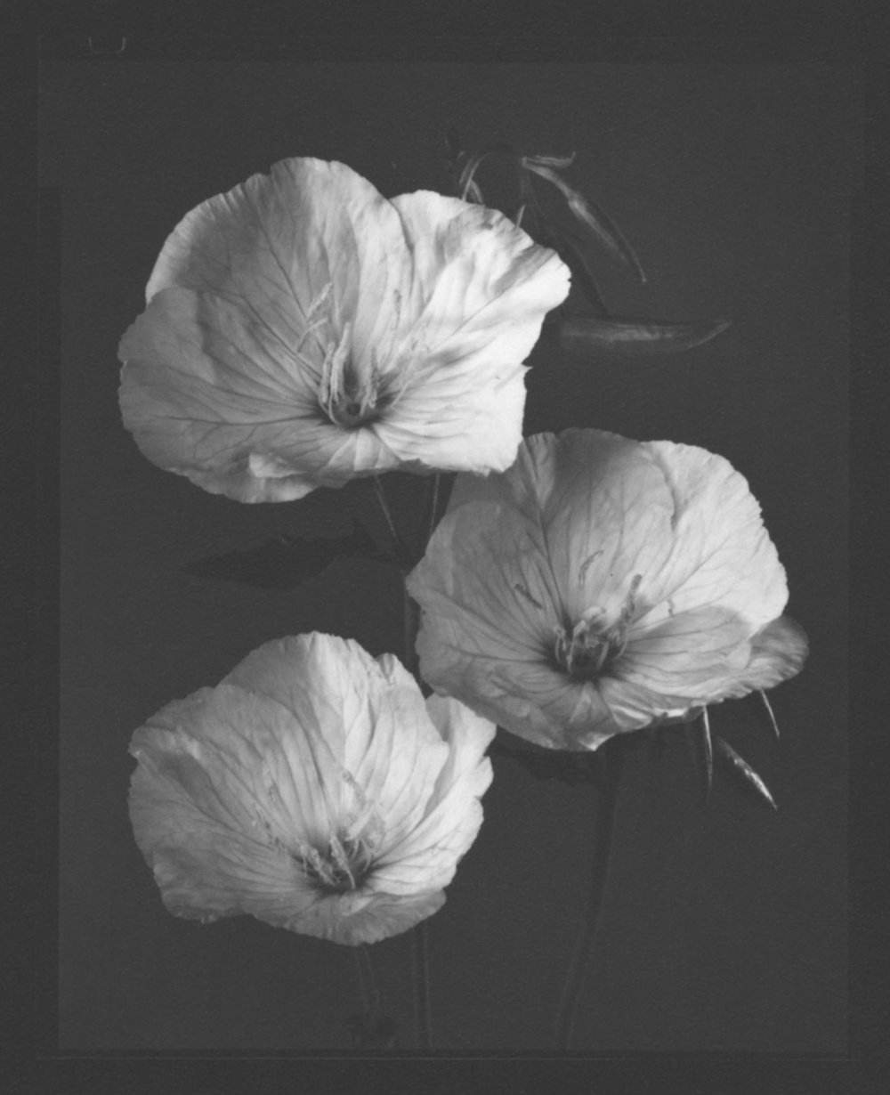 TOM BARIL Evening Primrose, 1998