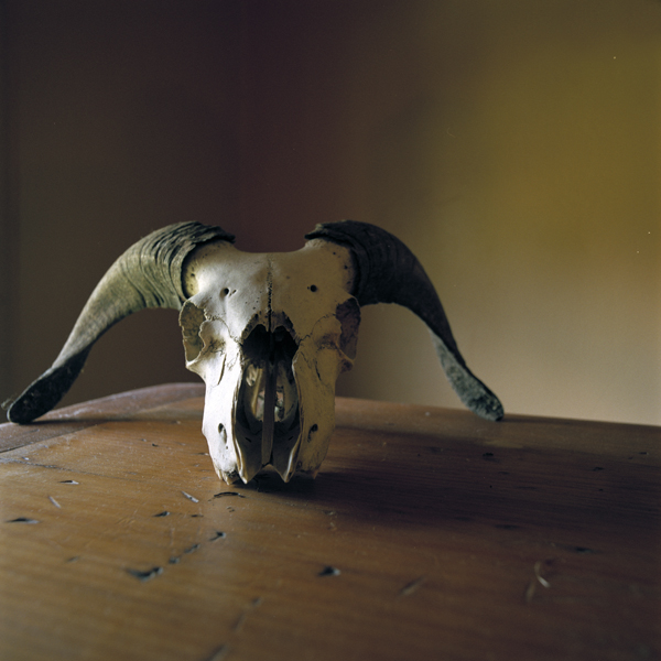 WENDY BURTON Ovis aries #2 [Sheep/Ram] (from the series Natural Histories), 2011