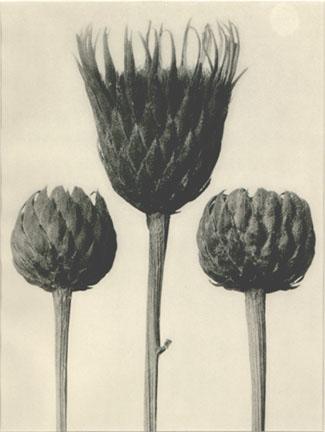 KARL BLOSSFELDT,  Plate 83: Serratula nudicaulis ,c. 1920s