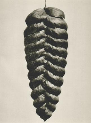 KARL BLOSSFELDT,  Plate 95: Briza maxima ,1932