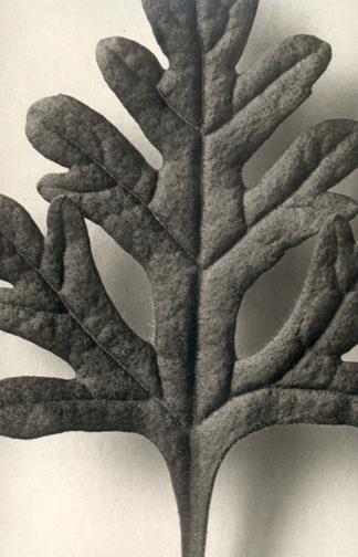 KARL BLOSSFELDT,  Teucrium botrys ,c.1920's
