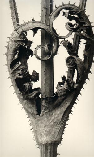 KARL BLOSSFELDT,  Dipsacus laciniatus ,c.1920's