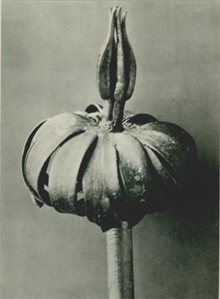KARL BLOSSFELDT Plate 76: Eranthis cilicica,c. 1920s