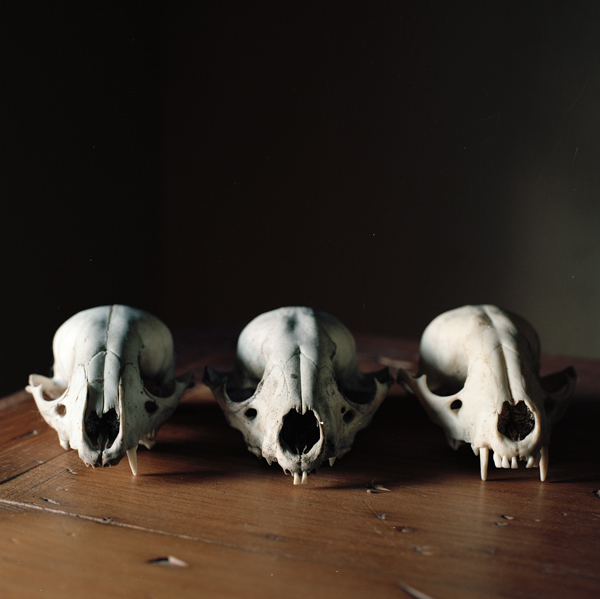 WENDY BURTON,  Procyon lotor [Raccoon]  (from the series Natural Histories), 2011