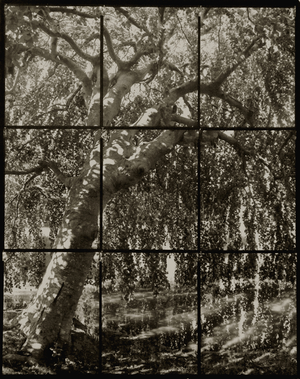 KOICHIRO KURITA,  Weeping Beech, Southold, New York,  2008