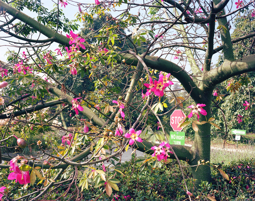 Floss Silk Tree