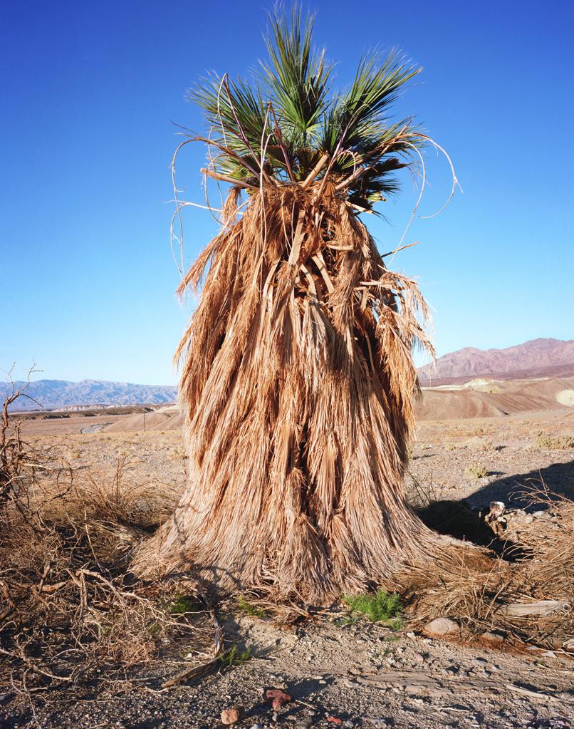 Deglet Noor Palm